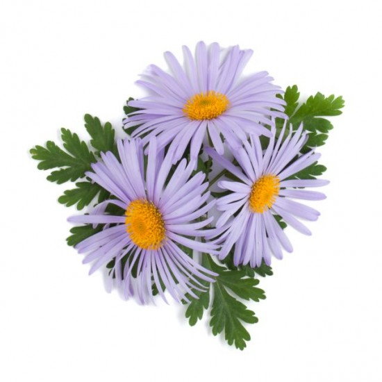 CHAMOMILE GERMAN / BLUE ESSENTIAL OIL