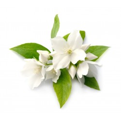 WHITE JASMINE FRAGRANCE OIL